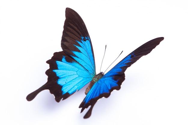 Papilio ulysses blauwe vlinder op de witte achtergrond Premium Foto