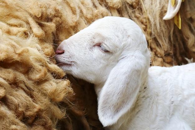 Pasgeboren schapen, verlaten pasgeboren lam Premium Foto