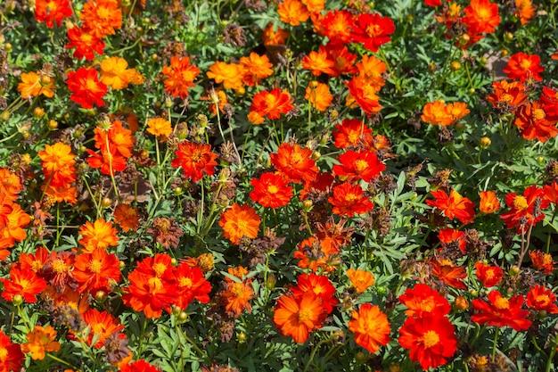 Patroon van narrowleaf zinnia, classic zinnia en sulphur cosmos flower als bush of foilage op grond als siertuinieren concept Premium Foto