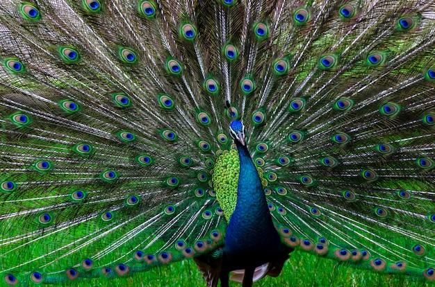 Pauwpauw mooi staartpatroon groen stip Premium Foto