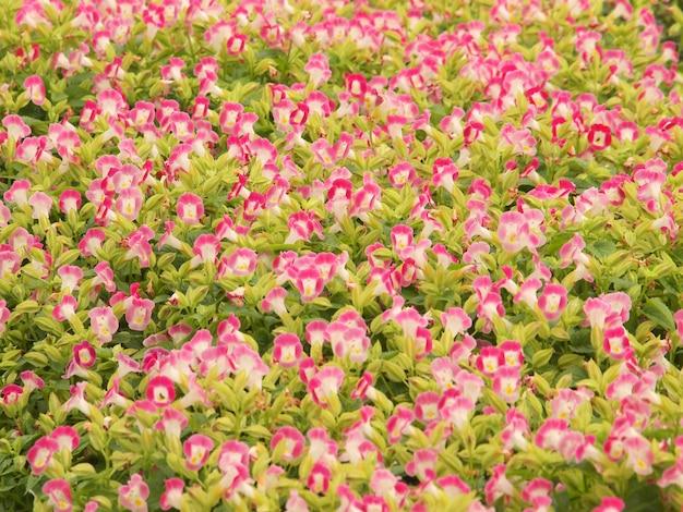 Pelargonium geranium groep helder cerise roze bloemen Premium Foto