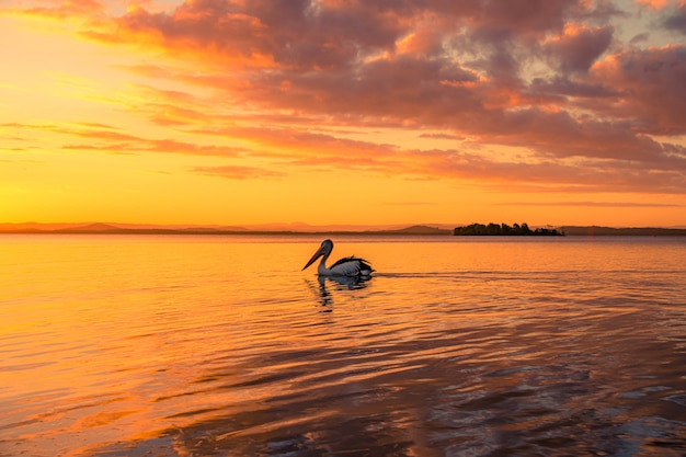 Pelikaan die in het meer onder de gouden bewolkte hemel bij zonsondergang zwemmen Gratis Foto