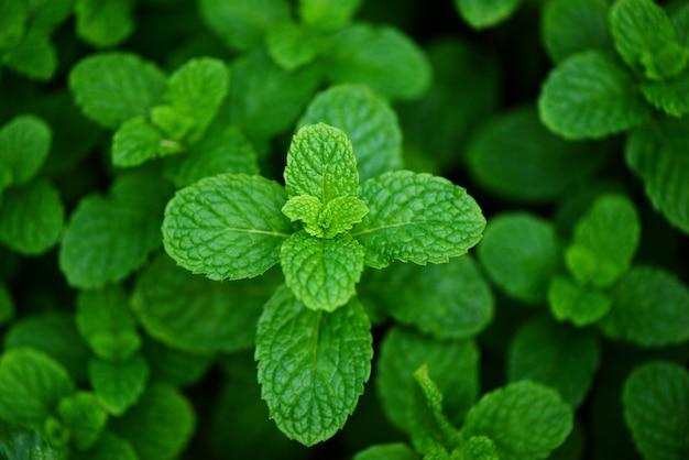 Pepermuntblad op de tuinachtergrond - verse muntbladeren in een aard groen kruiden of groentenvoedsel Premium Foto