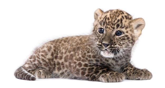 Perzische luipaardwelp op geïsoleerd wit Premium Foto