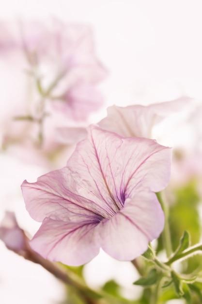 Petunia op wit. Premium Foto