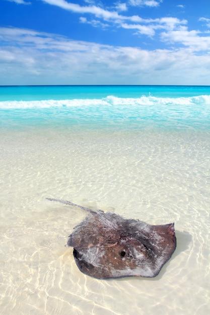 Pijlstaartrog dasyatis americana in caribisch strand Premium Foto