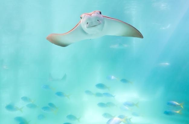 Pijlstaartrog die onder blauwe oceaan zwemmen zoals vliegend in hemel en onder ogen ziend aan camera Premium Foto