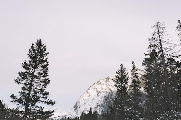 Pijnbomen in de bergen Gratis Foto