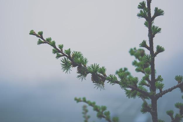 Pijnboomboom in regenwoud mistig weer, de winterachtergrond Premium Foto