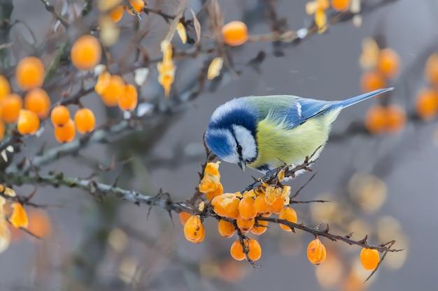 Pimpelmees zittend op de tak van duindoorn en bessen pikken in de winter Premium Foto