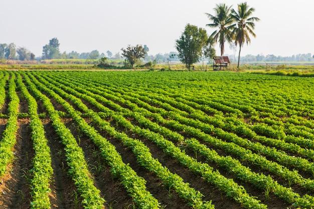 Pinda's planten op het platteland van thailand. Premium Foto