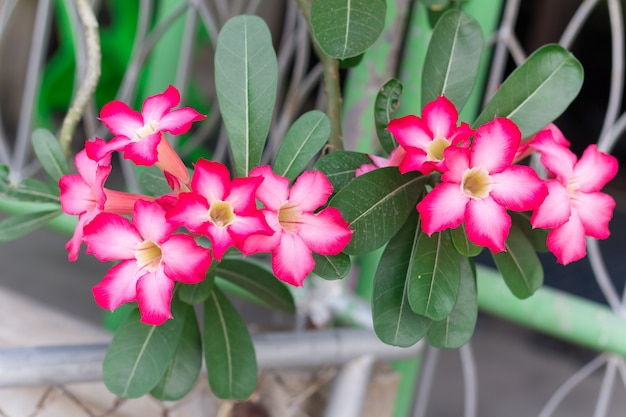 Pink desert rose of impala lily of mock azalea bloem uit tropisch klimaat Premium Foto