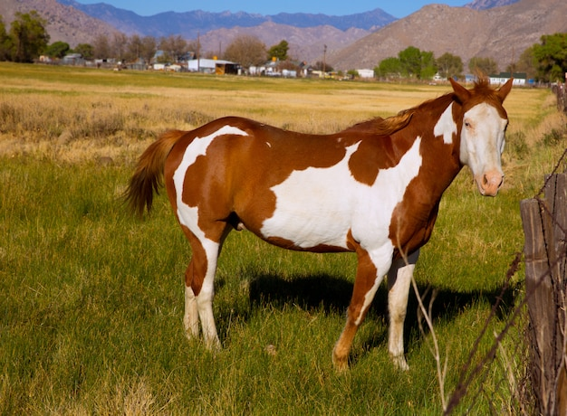 Pinto van californië verfpaard in landbouwbedrijf Premium Foto