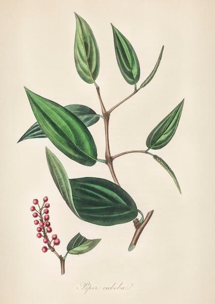 Piper cubeba illustratie uit medische plantkunde (1836) Gratis Foto