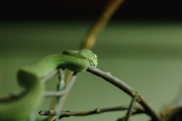 Pitviper met witte lippen is een slang die nachtelijke activiteit op de grond zoekt. vaak in bomen leven Premium Foto