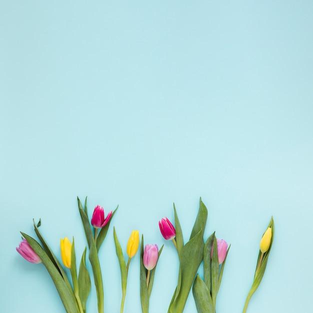 Plat lag tulp bloemen en bladeren op blauwe achtergrond met kopie ruimte Gratis Foto