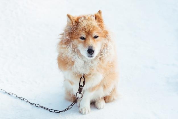 Pluizige rode geketende hond in openlucht in de winter bij sneeuw het kijken Premium Foto