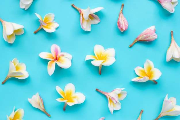 Plumeria of frangipanibloem op blauw Premium Foto