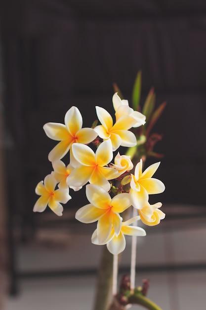 Plumeria witte en gele bloem die op huistuin bloeien Premium Foto