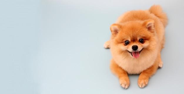 Pomeranian-hond op blauw Premium Foto