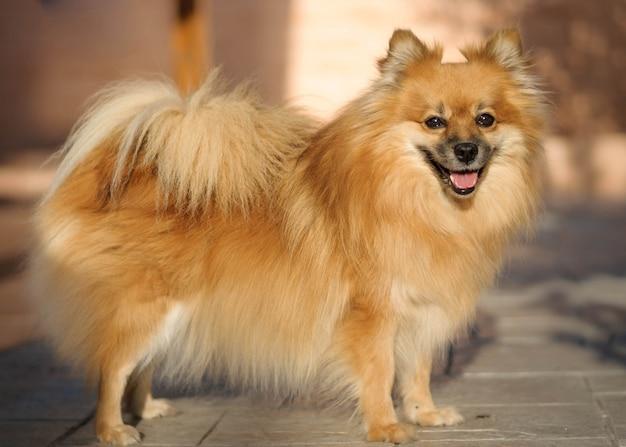 Pomeranian hondportret met natuurlijk licht. Premium Foto