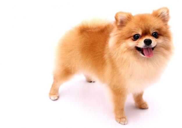 Pomeranianhond op een witte achtergrond. Premium Foto