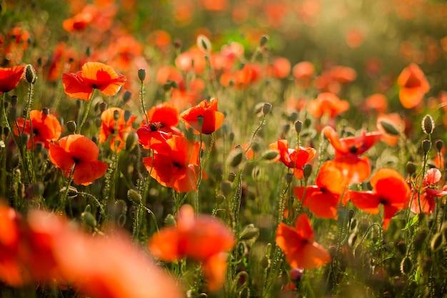 Poppy veld close-up, bloeiende wilde bloemen in de ondergaande zon. rode groene achtergrond, leeg, behang met zachte focus. Premium Foto
