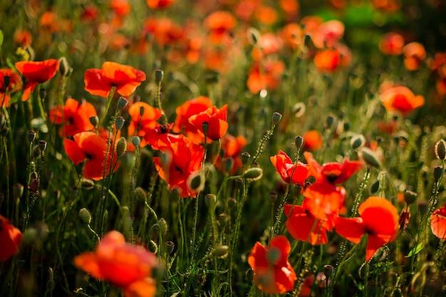 Poppy veld close-up Premium Foto