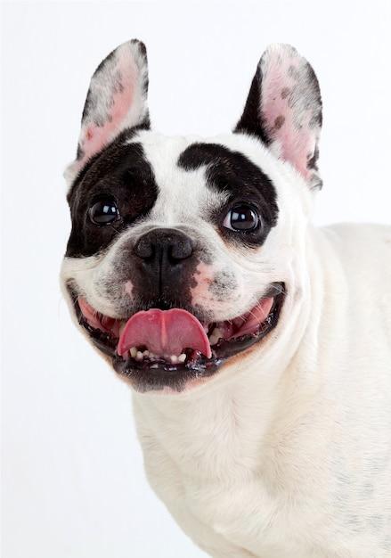 Portret in studio van een schattige bulldog Premium Foto
