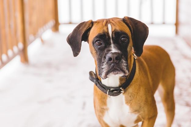 Portret van bruine pedigreed hondzitting in het houten huis. bokser Premium Foto