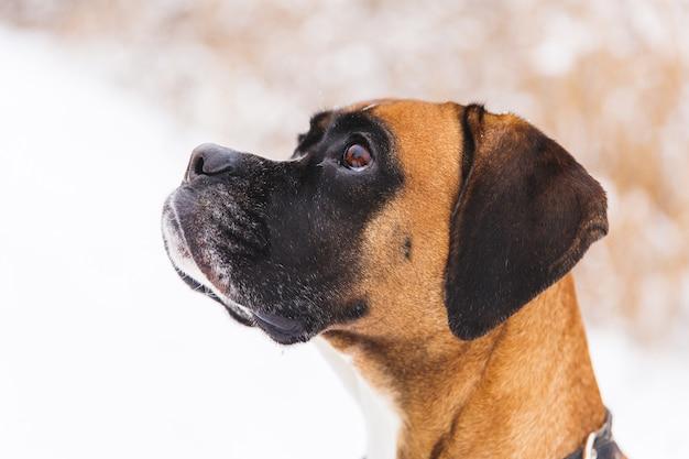 Portret van bruine pedigreedhond op de sneeuw. bokser. Premium Foto