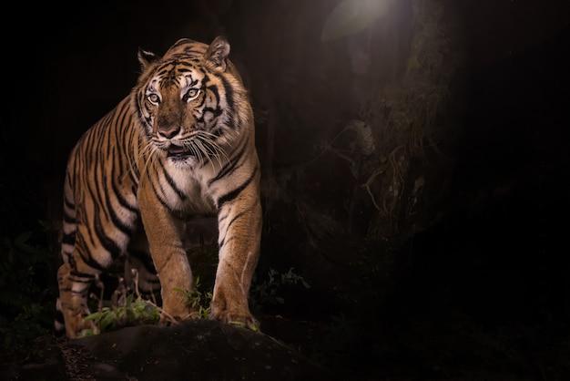 Portret van de tijger van bengalen in donker bos Premium Foto
