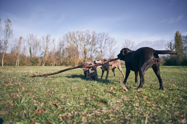 Portret van drie honden die een tak van een boom bijten op de grond gevallen Premium Foto