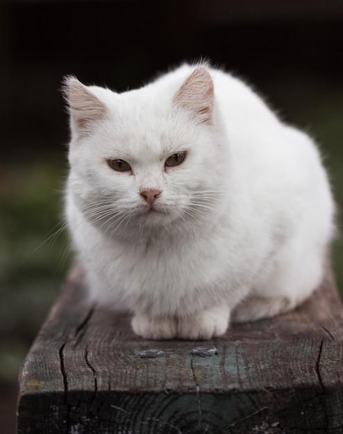 Portret van een binnenlandse kat van witte kleur met grote ogen. witte kat met een roze neus. wit russisch kattenras. Premium Foto