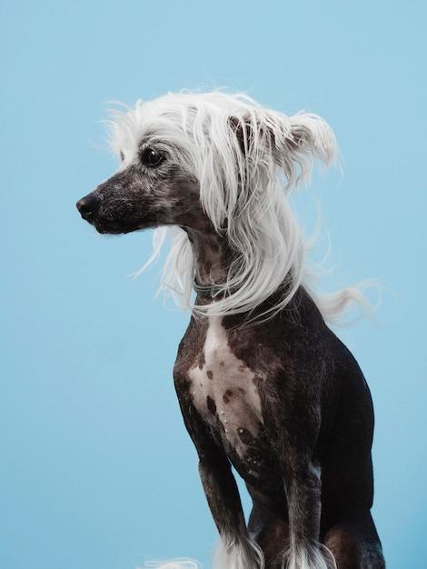 Portret van een chinese kuifhond met wit haar Gratis Foto