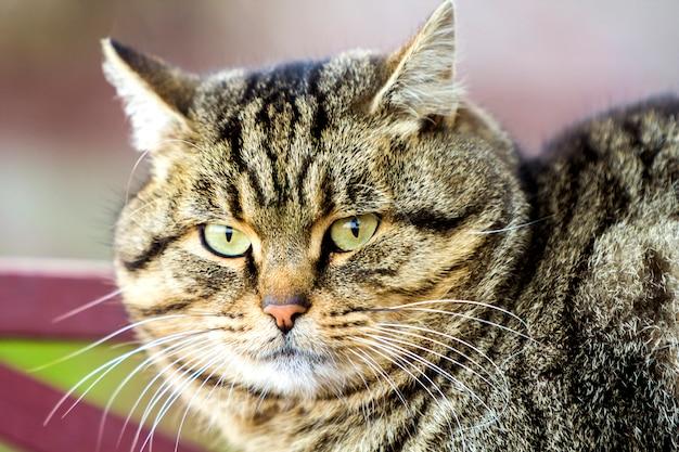 Portret van een dikke gestreepte kat met groene ogen Premium Foto