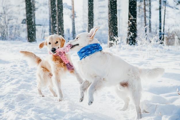 Portret van een hond buiten in de winter. twee jonge golden retriever spelen in de sneeuw in het park. sleepboot speelgoed Premium Foto