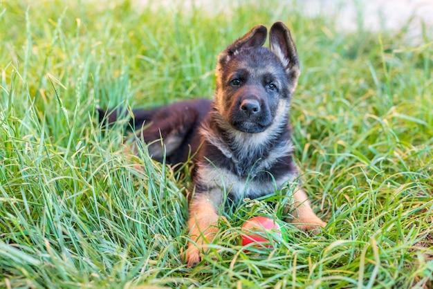 Portret van een hond. een klein puppy van de duitse herder ligt op het  groene gras