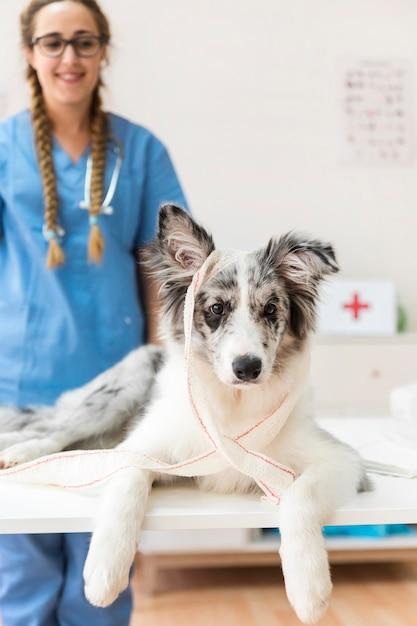 Portret van een hond met een blinddoek op tafel Gratis Foto