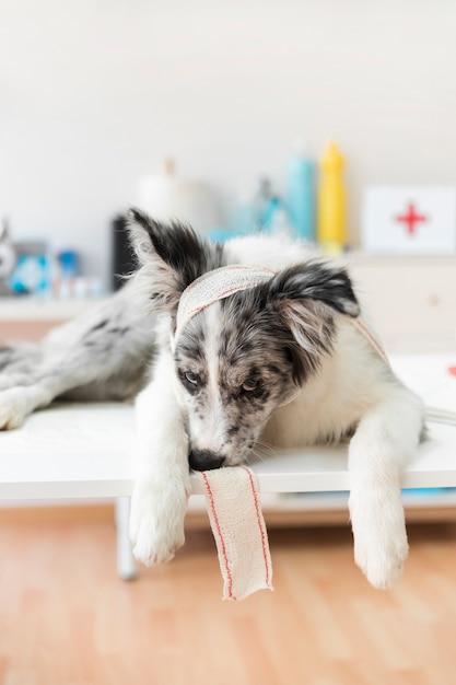 Portret van een hond met verband liggend op tafel | Premium Foto