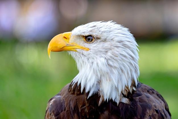Portret van een kale adelaar in de natuur Premium Foto