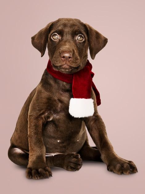 Portret van een leuke labrador die een kerstmissjaal draagt Gratis Foto