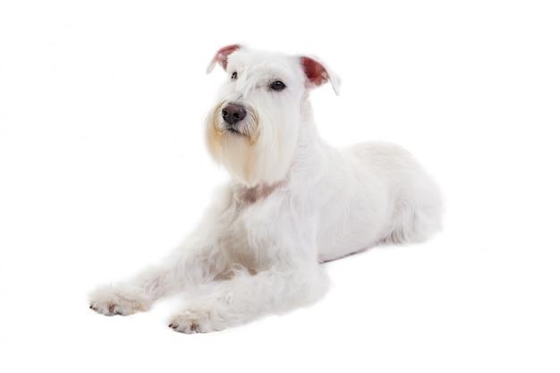 Portret van een miniatuurschnauzer op een witte isolate Premium Foto