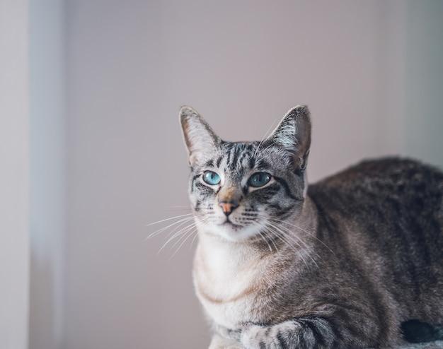 Portret van een mooie binnenlandse schattige kat met blauwe ogen Gratis Foto