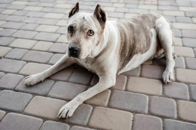 Portret van een oude hond die op bestrating ligt Premium Foto