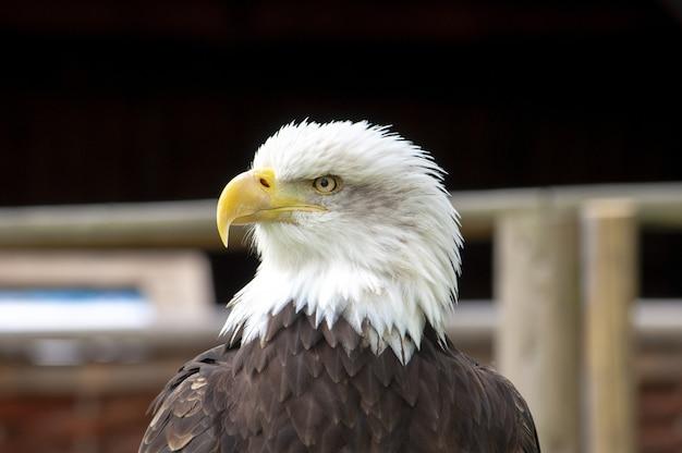 Portret van een prachtige amerikaanse zeearend Gratis Foto