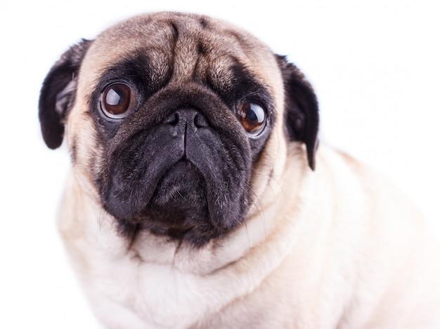 Portret van een pug hond met grote droevige ogen. Premium Foto