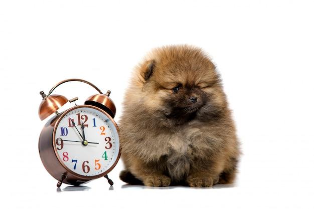 Portret van een schattige puppy met een klok, close-up, geïsoleerd Premium Foto