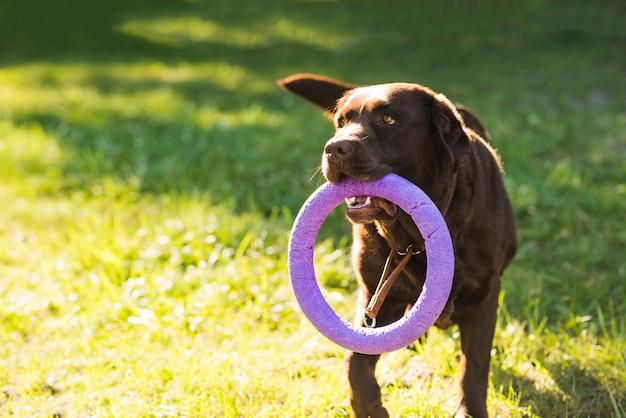 Portret van een stuk speelgoed van de hondholding in mond Gratis Foto