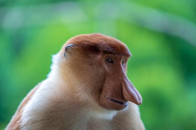 Portret van een wilde neusaap of nasalis larvatus, in het regenwoud van het eiland borneo, maleisië, close-up. geweldige aap met een grote neus. Premium Foto